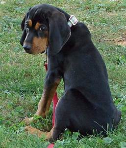The dog in world: Black and Tan Coonhound dogs
