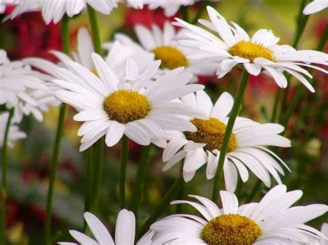 margherite fiori fiori margherita fiori delle piante