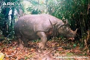 Javan Rhino - Rhinoceros sondaicus