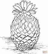 Cactus Coloring Pinecone Pine Cone Pages Drawing Strobiliformis Barrel Printable Desert Drawings Plants Clipart Designlooter Getdrawings Supercoloring 1815 83kb sketch template