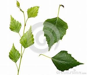 Branche De Bouleau : jeunes branche et feuilles de bouleau images libres de ~ Melissatoandfro.com Idées de Décoration