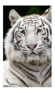 White Tiger 4K Wallpaper, Siberian Tiger, Big cat, Animals ...