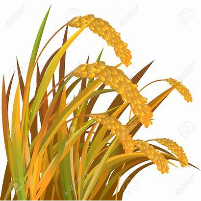 Clipart Paddy Rice Oats Harvest Oat Vector