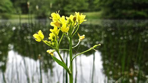 gele hoge bloemen flora van nederland gele waterkers rorippa hibia