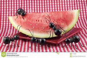 Was Essen Ameisen : schwarze ameisen die wassermelone essen stockbild bild ~ Lizthompson.info Haus und Dekorationen