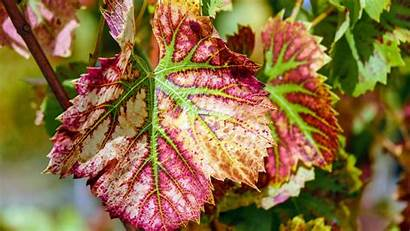 Pigmentation Vine Leaves Resolutions Popular