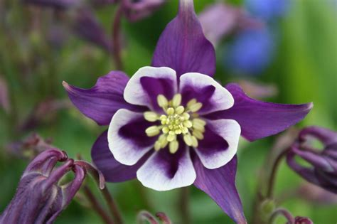 the columbine flower romantic flowers columbine flower
