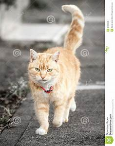 Ginger Tabby Cat Walking With Tail Up On Sidewalk Stock ...