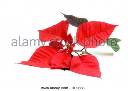 poinsettia plant cut  isolated  white background