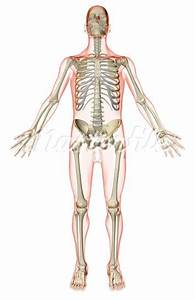 Skeletal System Blank Diagram