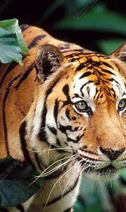 Sumatran Tiger (Panthera tigris sumatrae) - Stock Image ...