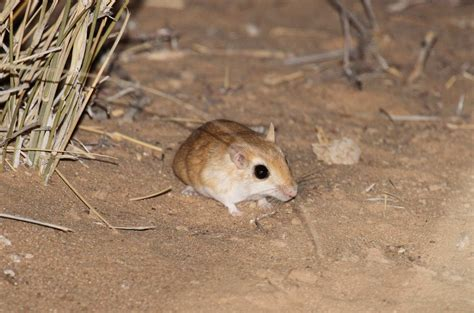 New Data On The Terrestrial Mammals Of The Oued Ad Dehab