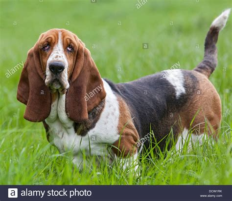 basset hound colors tri coloured basset hound standing in grass posing stock