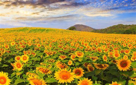 漂亮的向日葵图片高清壁纸-壁纸图片大全