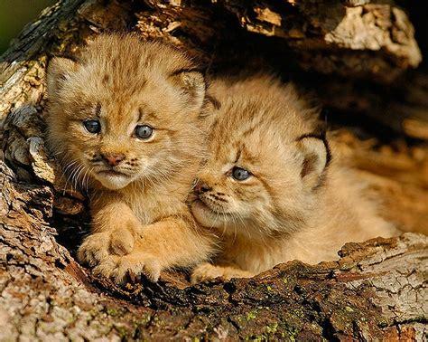 jeu gratuit de cuisine bébé lynx