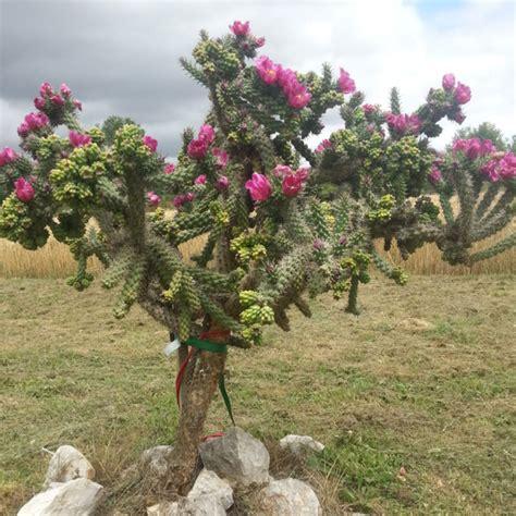 opuntia spinosior cactus figuier de barbarie r 233 sistant au gel cactus opuntia kajuard