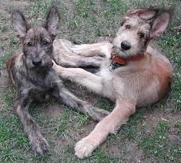 bacardi dogs  dog   pinterest