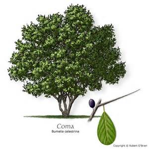 common name la coma saffron plum name bumelia celastrina tree size small leaf type