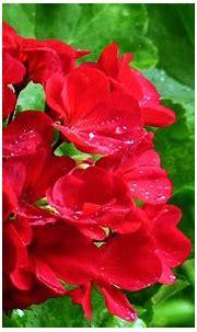 3d Abstract Widewallpaper Geranium In The Rain 40199 ...