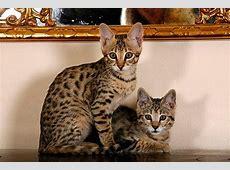 Savannah Kitten Tipps und süße Fotos
