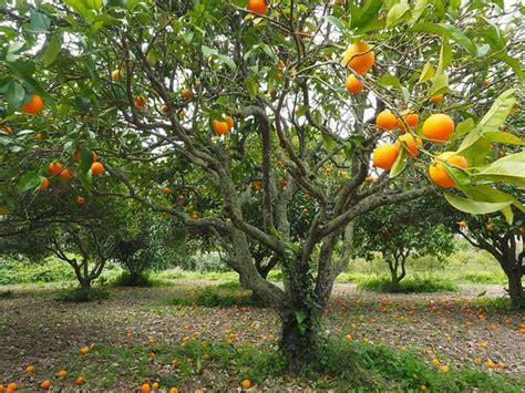 pianta fiori arancio arancio citrus sinensis frutteto arancio frutteto