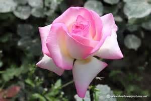 Big Pink Rose Flower Pictures