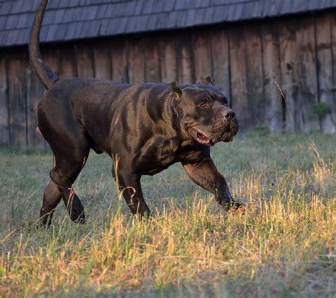 carpatcan kennel  dogs images  pinterest