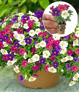 Petunien Samen Kaufen : zaubergl ckchen lila wei pink von baldur garten auf kaufen ~ Frokenaadalensverden.com Haus und Dekorationen