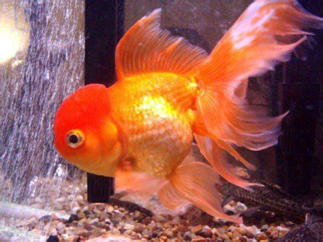 popular fish breeds  pets
