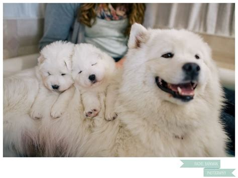 110 Best Images About Samoyed Love On Pinterest
