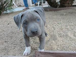 Blue Nose Pitbull: Essential Facts, Pictures and Videos