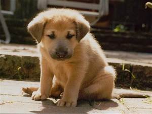 Chinook Dog Facts, Temperament, Care, Training, Puppies ...