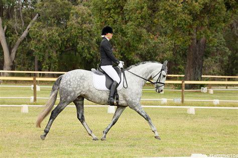 andalusian horses spanish mare stunning safe horsezone horse