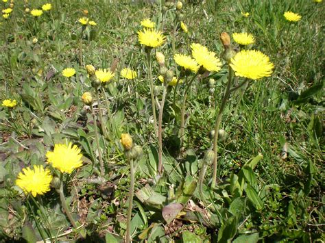 weeds with yellow flowers weed of the week yellow hawkweed hieracium pratense tausch penn state turfgrass