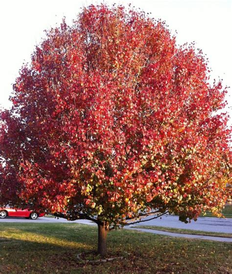 ornamental tree sun top 28 ornamental tree sun crabapple malus sun rival buy weeping flowering crab apple tree