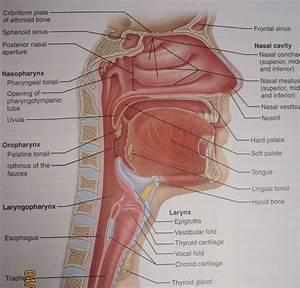 Intranasal Anatomy Related Keywords