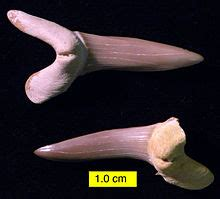 scapanorhynchus wikipedia
