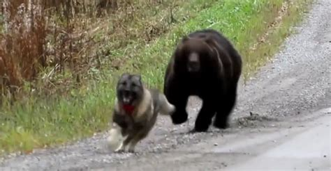 bears charges    woods   dog
