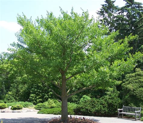 ginco trees ginkgo tree for sale the planting tree