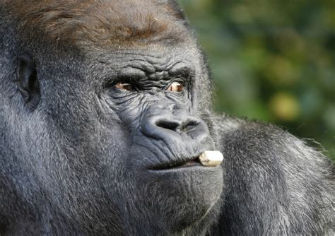 Koko the gorilla proves apes may be closer to being able ...