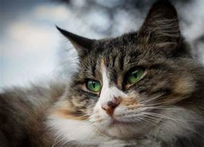 cat eye infection cat eye infection recognize the signs canna pet