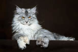 coon cat maine coon cats photographed as majestic mythical beasts