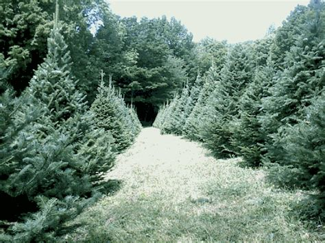 organic christmas tree farms furniture home design ideas