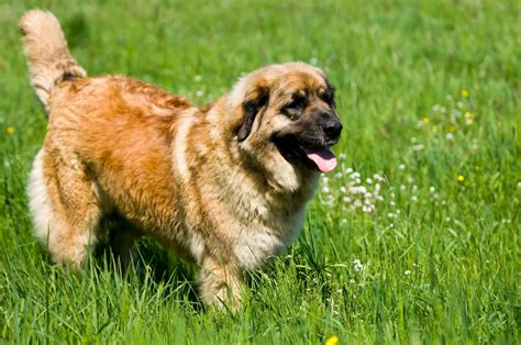 le berger mode d emploi le berger mode d emploi 28 images le chien de conduite mode d emploi actu animaux berger