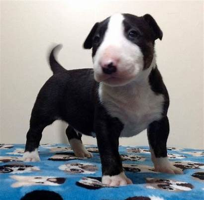 Terrier Bull Diferenciados Filhote