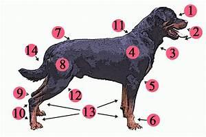Dog anatomy - Wikipedia