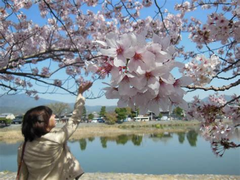 significance  sakura cherry blossom traditions  japan