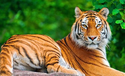 hd wallpaper   tiger wallpapers