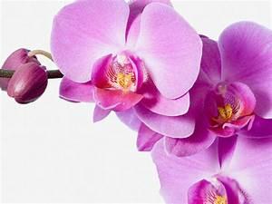 Comment Soigner Une Orchidée : comment s occuper une orchidee l 39 atelier des fleurs ~ Farleysfitness.com Idées de Décoration