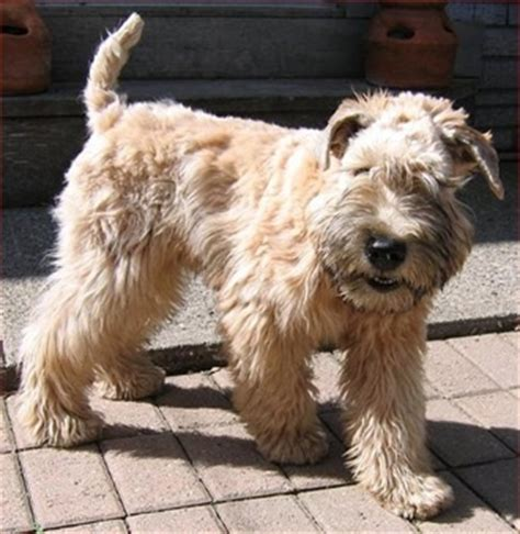 wheaten terriers do they shed 25 best ideas about non shedding dogs on